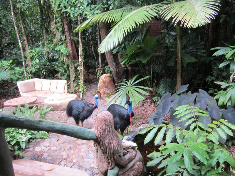 two cassowaries visiting this accommodation in the daintree