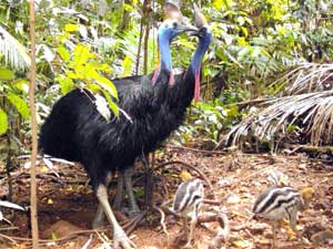 cassowary in cape tribulation