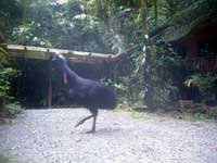 cassowary  at cape tribulation accommodation