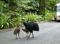 cassowaries on the road