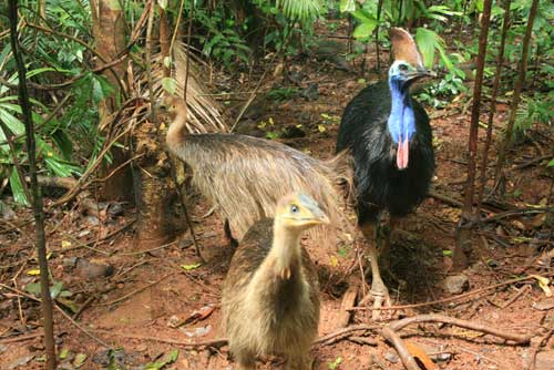 cassowaries at rainforest hideaway